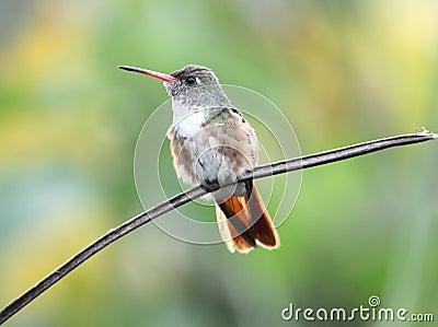 Amazilia Hummingbird Ecuador