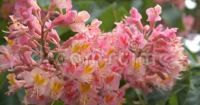 Amazing bloom of the chestnut close up in 4k. The action in the Kyiv stock footage