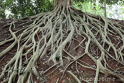 Amazing Chaos Tree Roots