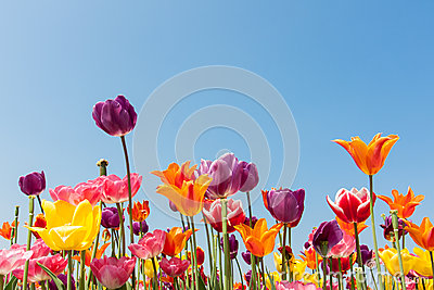 Amazing colored tulips against a blue sky