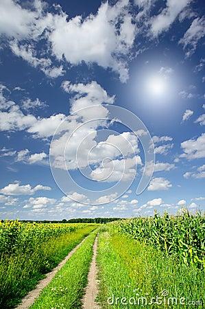 Amazing field  of corn and sunflowers.