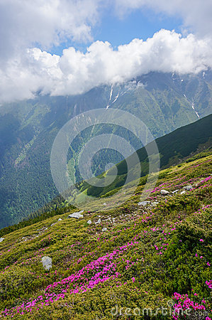 Amazing landscape with pink rhododendron flowers on the mountain, in the summer.