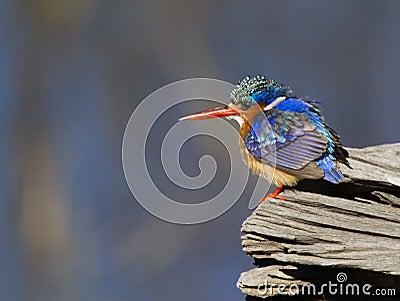 Amazing little Malachite Kingfisher