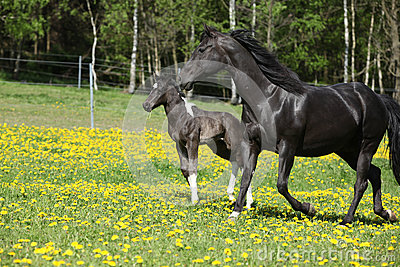 Amazing mare with little foal running on spring pasturage