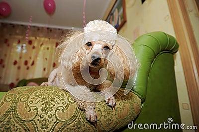 Amazing Poodle