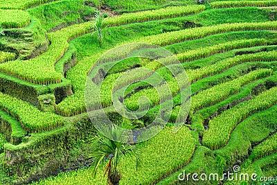 Amazing Rice Terrace field, Ubud, Bali, Indonesia