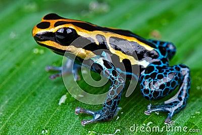 Amazon dart frog