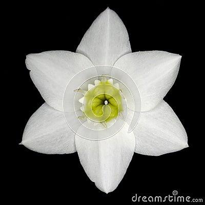 Free Amazon Lily Bloom Royalty Free Stock Photos - 11851738