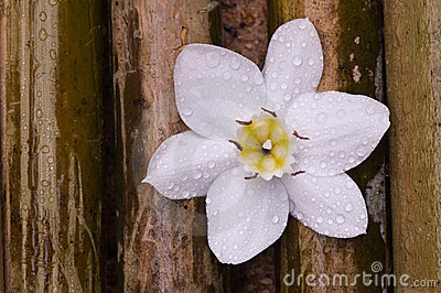 Amazon lily white flower on bamboo wood