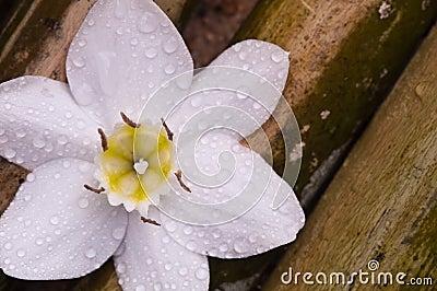 Amazon lily white flower on bamboo wood