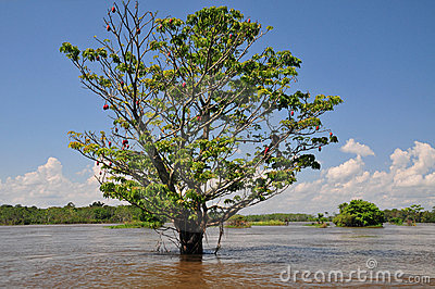 Amazon seasonal flooding (The Amazonia)