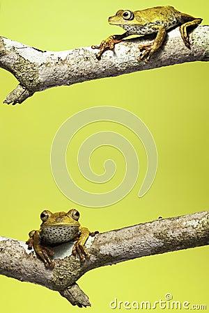 amazon tree frog background copy space amphibian