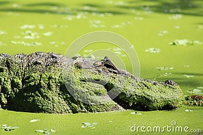 Amazonian Alligator in Brazil