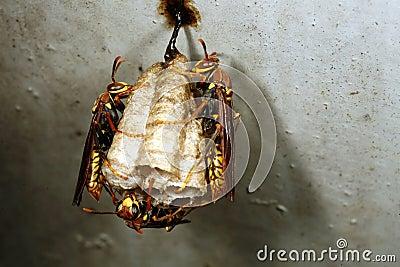 Amazonian wasp nest