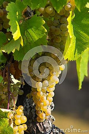 Amber grapes