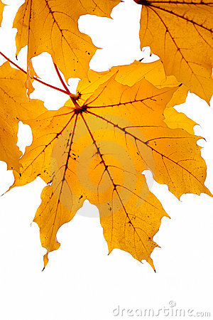 Amber leaves