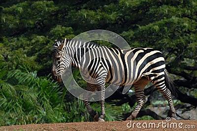 Ambling Zebra
