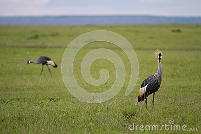 Amboseli Egyptian Cranes