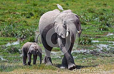 Amboseli elephant & bird