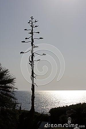 American Agave