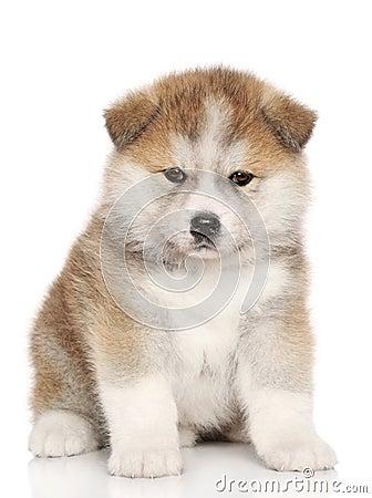 Free American Akita Inu Puppy Royalty Free Stock Photos - 23972158