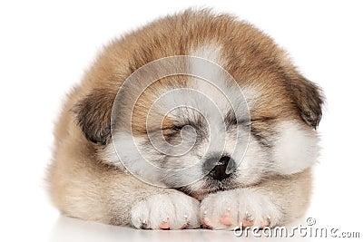 American Akita inu Puppy Sleep