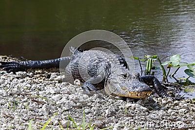American Alligator - 13