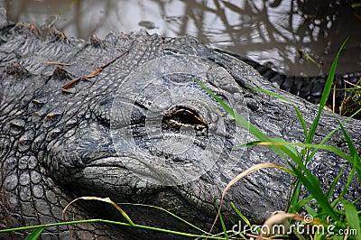 American Alligator 3