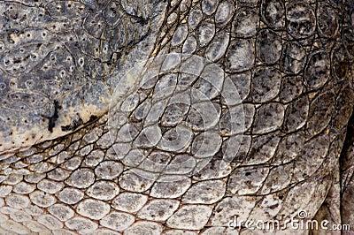 American Alligator (30 years)