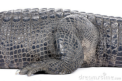 American Alligator (30 years)