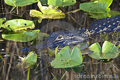 American Alligator (Alligator Mississippiensis) Royalty Free Stock Photo - Image: 18681245
