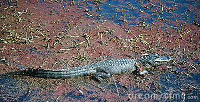 American Alligator Baby in a Murky Swamp