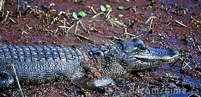 American Alligator Baby in a Swamp