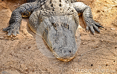 American alligator portrait. HDR picture