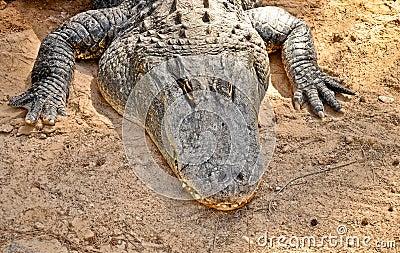 American alligator portrait. HDR picture