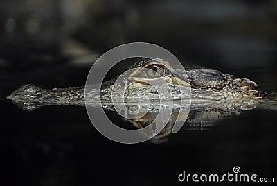American Alligator Reflection
