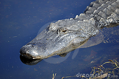American Alligator Stalking in Water