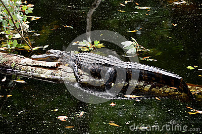 American Alligator Sun Bathing on Log