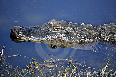 American Alligator in the Water