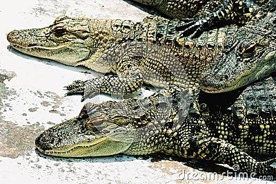 American alligators