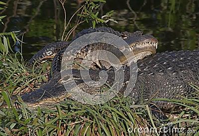 American Alligators Sunning