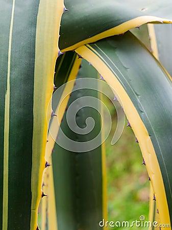 American Aloe close-up