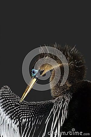 American Anhinga (Anhinga anhinga)