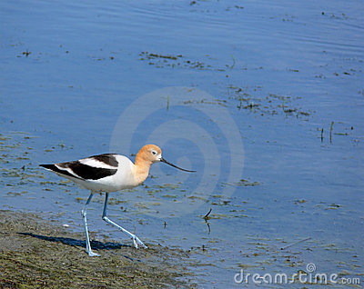 American Avocet with Room for Text