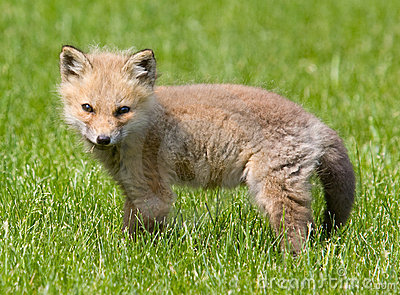 American Baby Red Fox