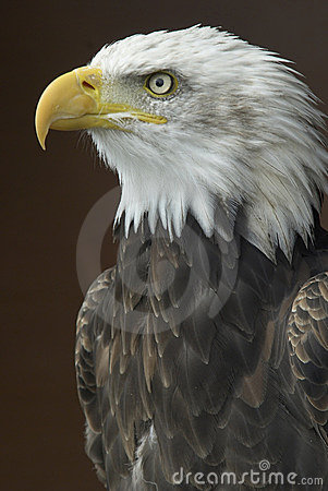 Free American Bald Eagle Royalty Free Stock Photos - 2286438