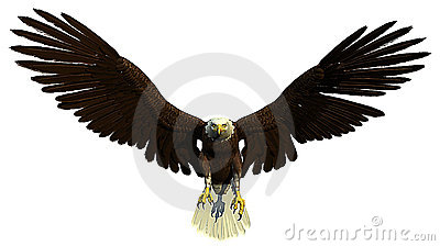 American bald eagle flying and hunting