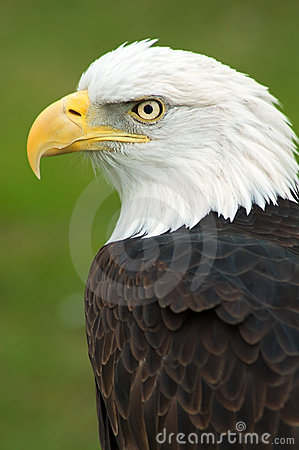 Free American Bald Eagle Left Royalty Free Stock Image - 2466856