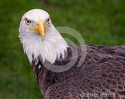 American Bald Eagle Looks Right