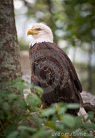 American Bald Eagle Nature Bird Wildlife